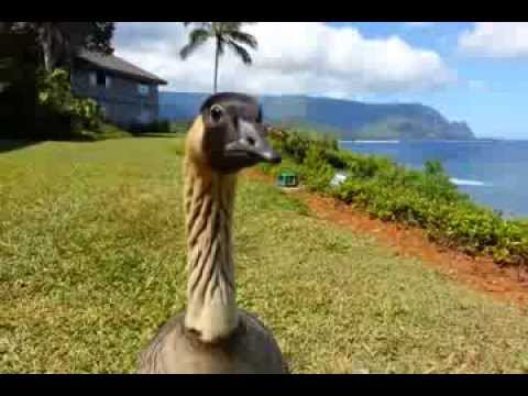 Nene Goose @ Princeville Kauai