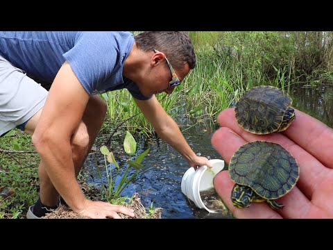 Rescuing BABY TURTLES From HUNGRY Pond EATERS!!