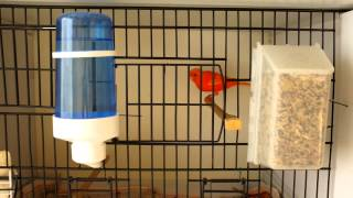 Red Factor Canary (End of 2013 Breeding Season)