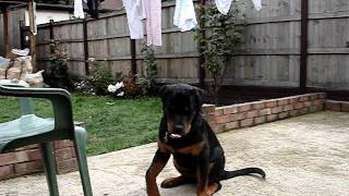 Luka - Rottweiler 6 Months Old With Elbow Dysplasia