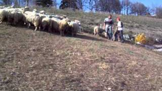 agneau troupeau