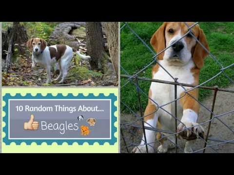 10 Random Things About...Beagles