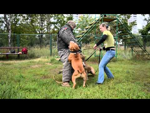 Amstaff protection dog training 1