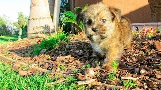 'Maverick', the most gorgeous Shorkie Hybrid puppy available in San Diego