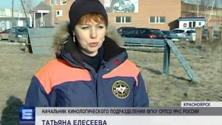Жители Красноярска все чаще жалуются на стаи бродячих собак(В рубрике