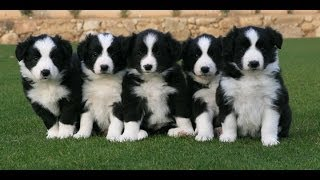 Border Collie, Puppies, For, Sale, In, Charlotte, North Carolina, Nc, Lexington, Clemmons, Fuquay Va