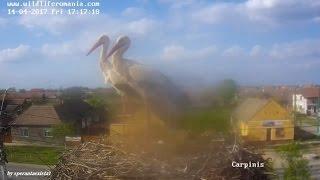 Barza Alba / White Stork Romania, Carpinis - Two Eggs / Doua Oua. 14.04.2017 (3) thumbnail