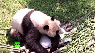 Панда на льду: в китайском зоопарке спасают животных от жары
