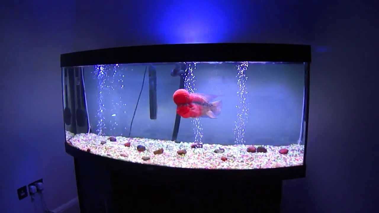 Flowerhorn Fish Room......They Crazyyyyy ;) - YouTube