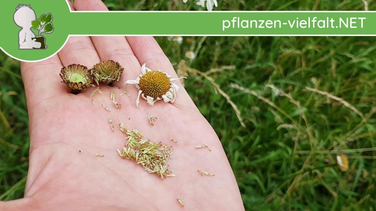 10000 Samen Magerwiesen Saatgut Leucanthemum vulgare Wiesen Margerite