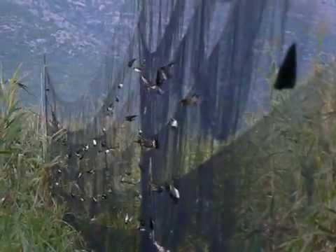 Catching Birds In Nets