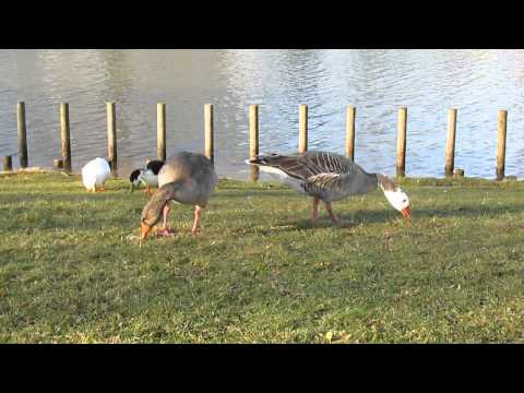 'White Head' and partner feeding at East Park