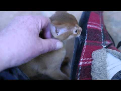 abyssinian kitten mother says put kitten down