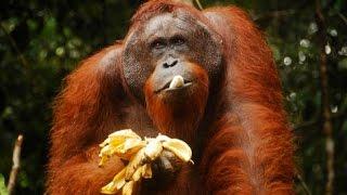 Новосибирский зоопарк  Обезьяна достает банан