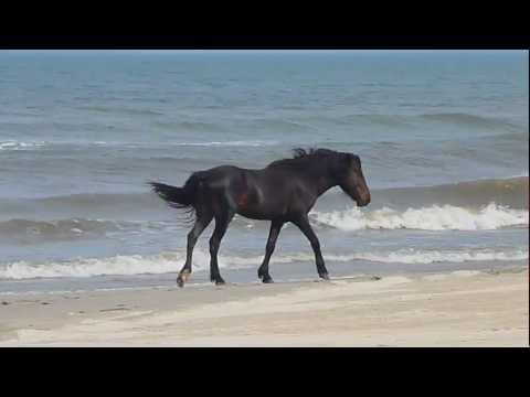 Wild Horses on the Outer Banks, NC