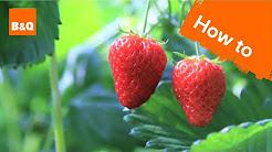 How to grow & harvest strawberry plants