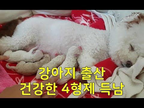 감동의 강아지 출산 - 코코의 귀여운 댕댕이 4