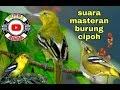 Suara Pikat Burung Cipoh Atau Masteran Burung Cipau  Mp3 - Mp4 Download