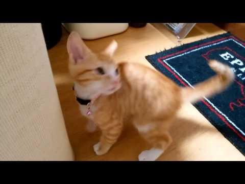 踏みつぶさないか心配になるぐらい子猫がシェパードにじゃれるようになりました。
