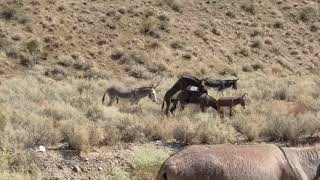 Death Valley wild burros