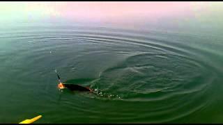 Рибалка Хистеварз Мирзочон