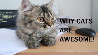TABBY PERSIAN CAT || REASONS HAVING A CAT IS FUN!!