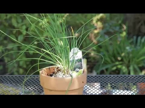 how to grow chives indoors