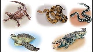 Животные (Часть 90) -  Класс Пресмыкающиеся (Рептилии) (+18)