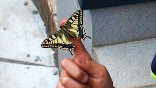 虫かごで羽化したアゲハ蝶。 タンポポを入れてあげましたがなかなか花の...