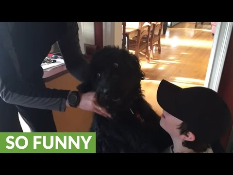 Labradoodle just loves his morning massages