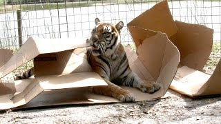 Big Cats Like Boxes Two