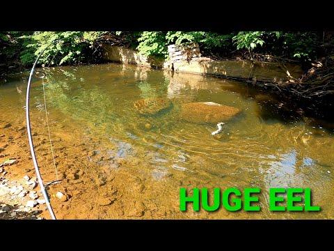 How to catch HUGE FRESHWATER EEL in a small creek (MONSTER EEL ALERT)