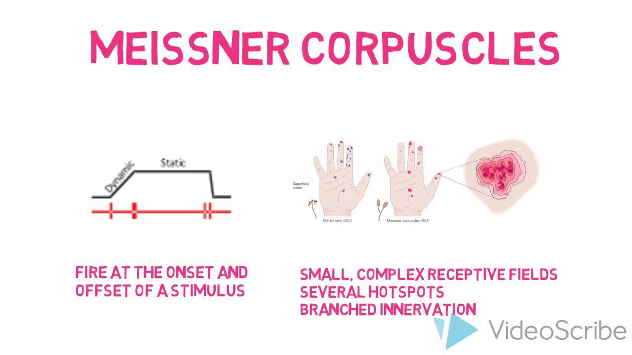 Cutaneous Mechanoreceptors  Meissner Corpuscles  YouTube