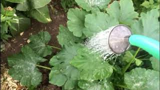 Супер урожай - правильный полив !!! Поливаем только так!!