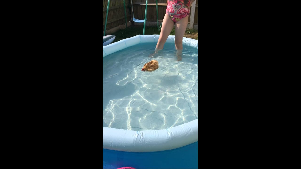 Chickens can swim youtube for Swimming chicken