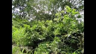 Octonary Ingredients of Flacourtia jangomas Formulations: Pankaj Oudhia