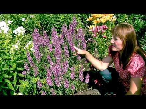 Дербенник, плакун-трава: выращивание в саду