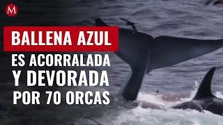 Ballena azul gigante es acorralada y devorada por 70 orcas: