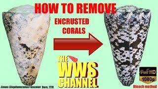 How to clean seashells ! And polish them ! (very encrusted Sea shell)