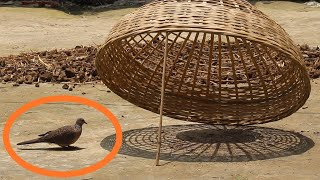 How to catch biŗds very easy ||Live catching bird||easy trap||Beautiful paradise in BD||