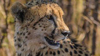 Cheetah hunting waterbuck amazing speed full chase