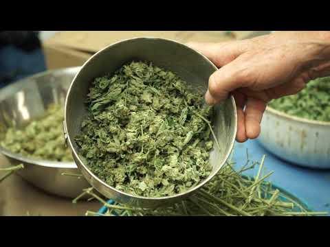 Grow Marijuana: SoFresh Farms Tour - Part 8 (Trimming)