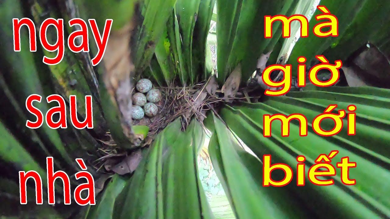 bất ngờ phát hiện tổ chim chòe than ngay sau nhà