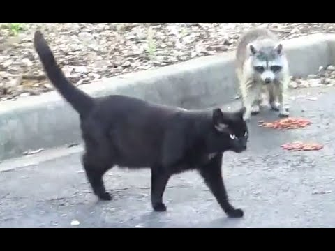 Raccoon thinks he is a cat!