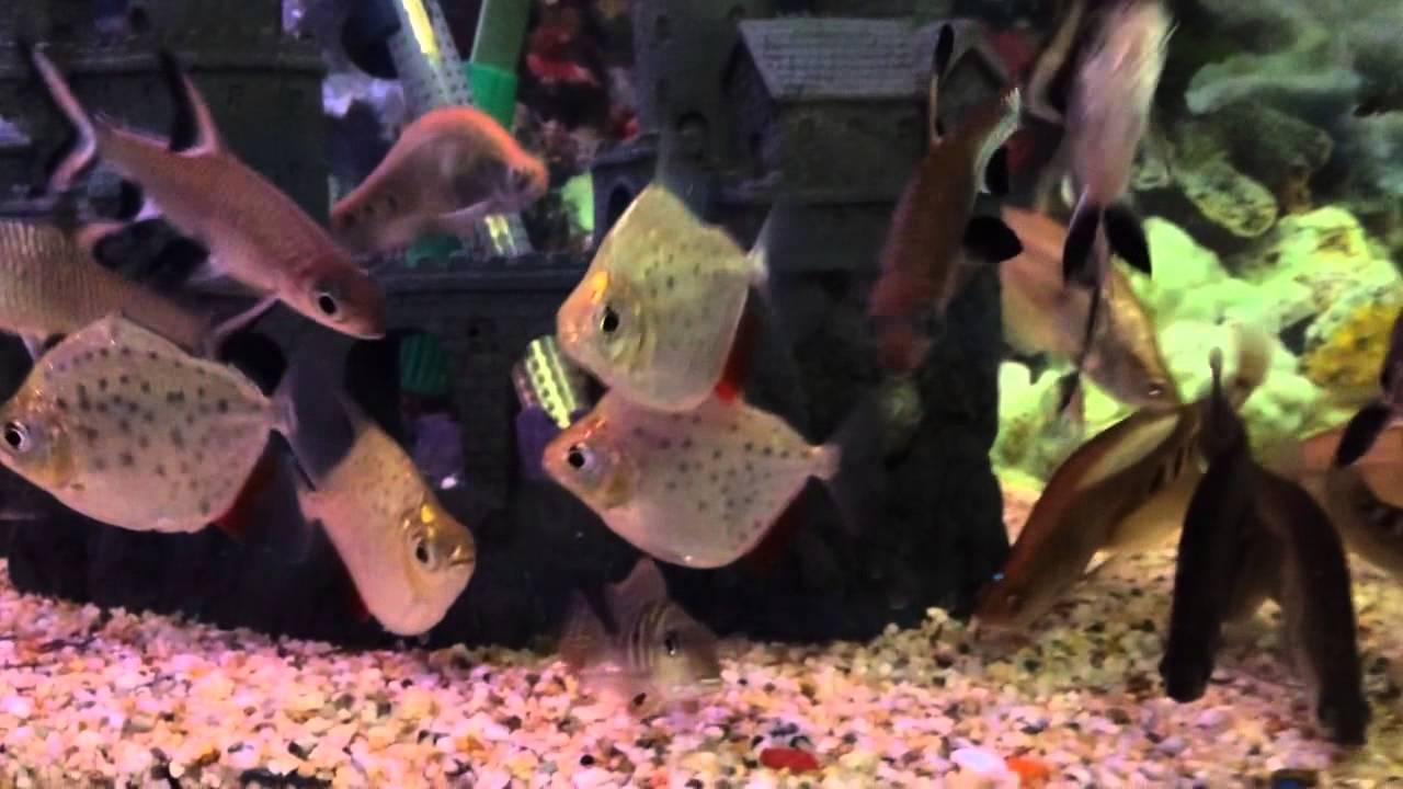 Spotted silver dollar fish for sale youtube for Silver dollar fish for sale