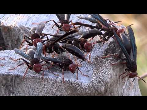 Wasp nest, poisonous insects, Brazilian Fauna,