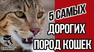 5 самых дорогих пород кошек (с ценами на них) / Интересные факты о кошках
