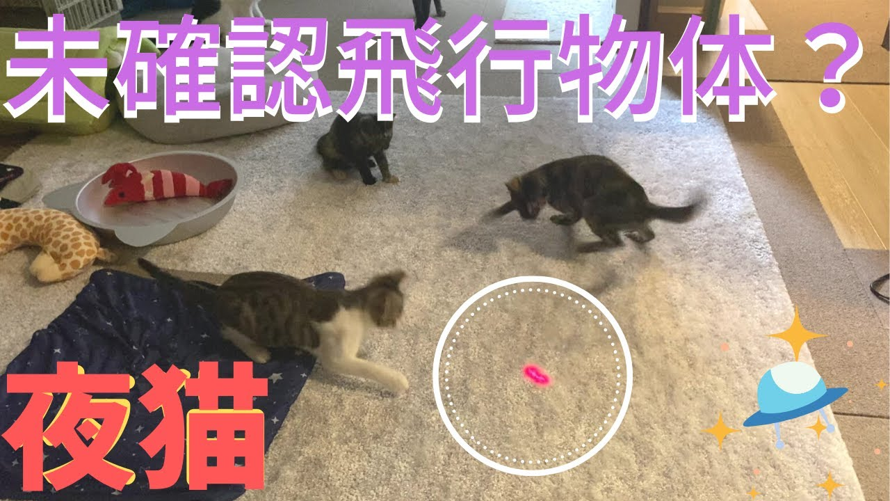 子猫たち大興奮!初めてのレーザーポインター!