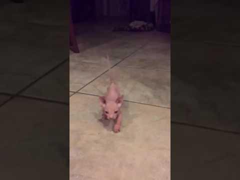 Bambino Kitten WADDLE
