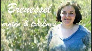 Heilkräfte, Ernte & Trocknung der Brennessel   Samen als Vitaminbombe, Blätter für Tee